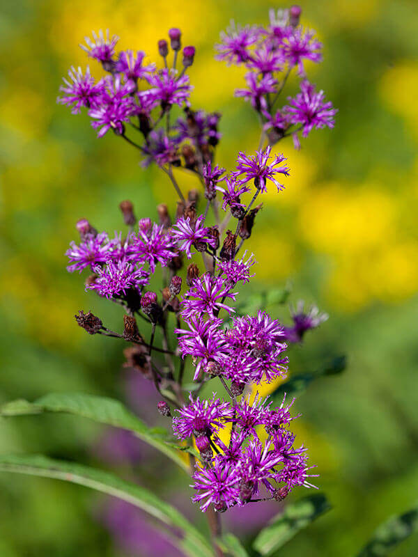 Ironweed Purple