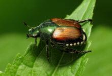 Japanese Beetle Defense Plan